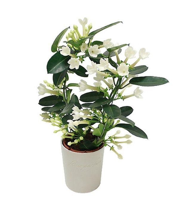 Στεφανότις με Λευκά Άνθη