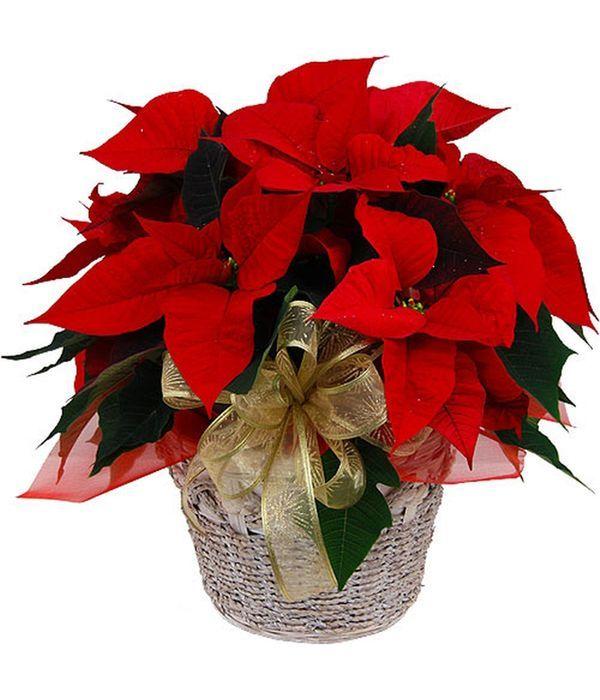 Poinsettia, Christmas plant