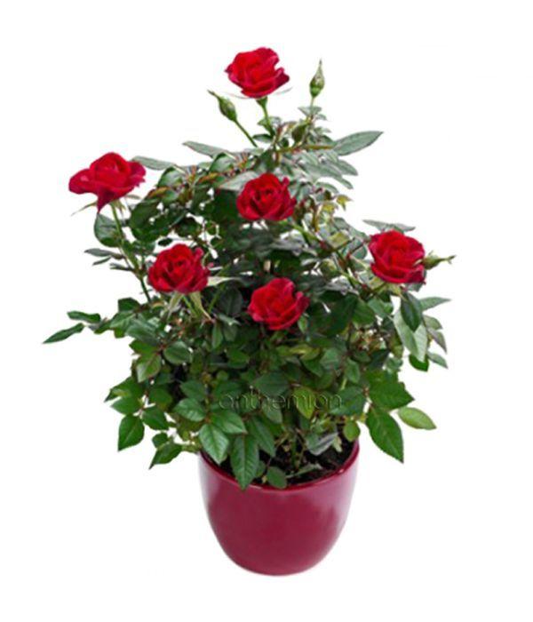 Κόκκινη Μίνι Τριανταφυλλιά