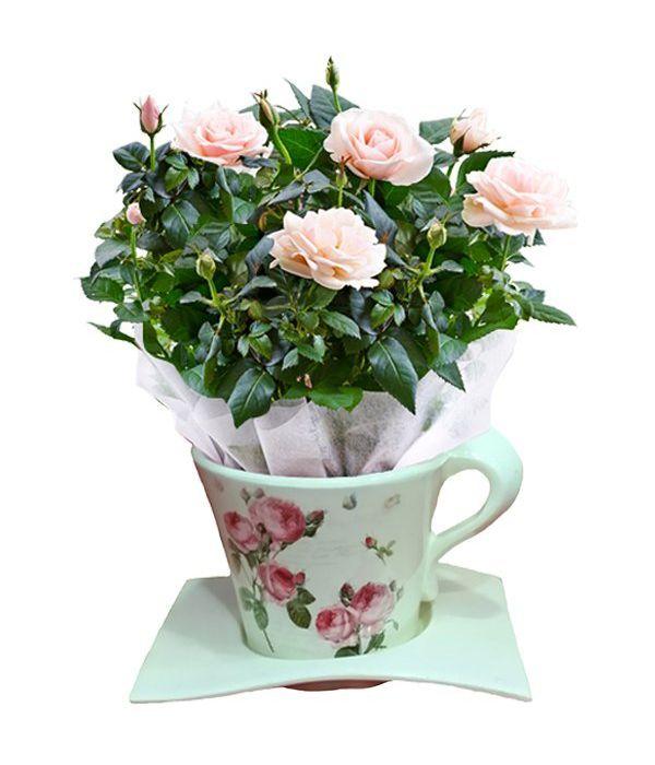 Ροζ τριανταφυλλιά σε φλιτζάνι