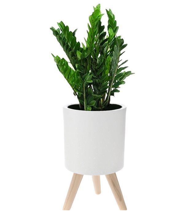 Zamia in ceramic/wooden pot