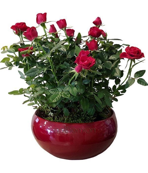 Κόκκινες τριανταφυλλιές σε κασπώ