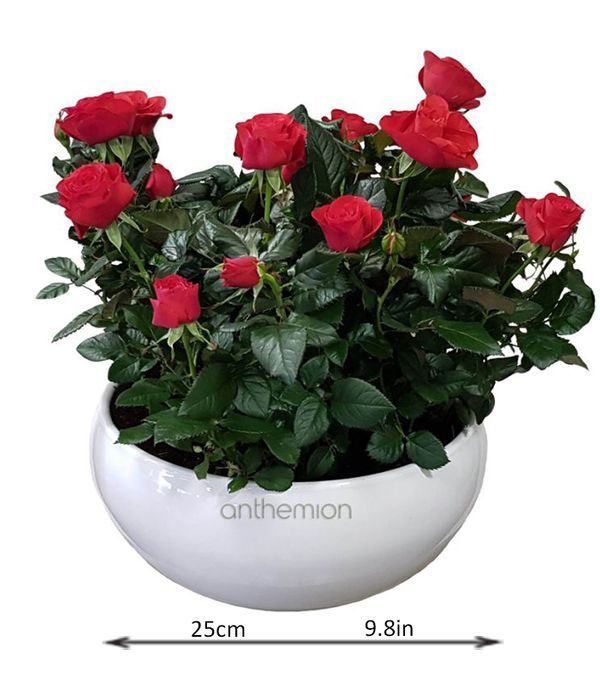 Double red rose plant