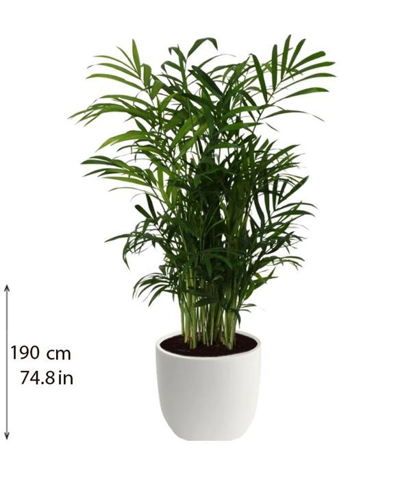 Χαμαιντώρια φυτό