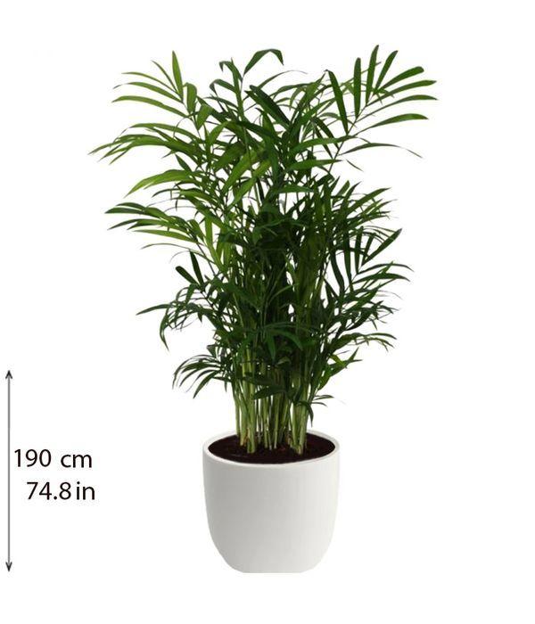 Chamaedorea indoor plant