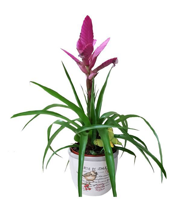 Τιλάνσια Antonio φυτό