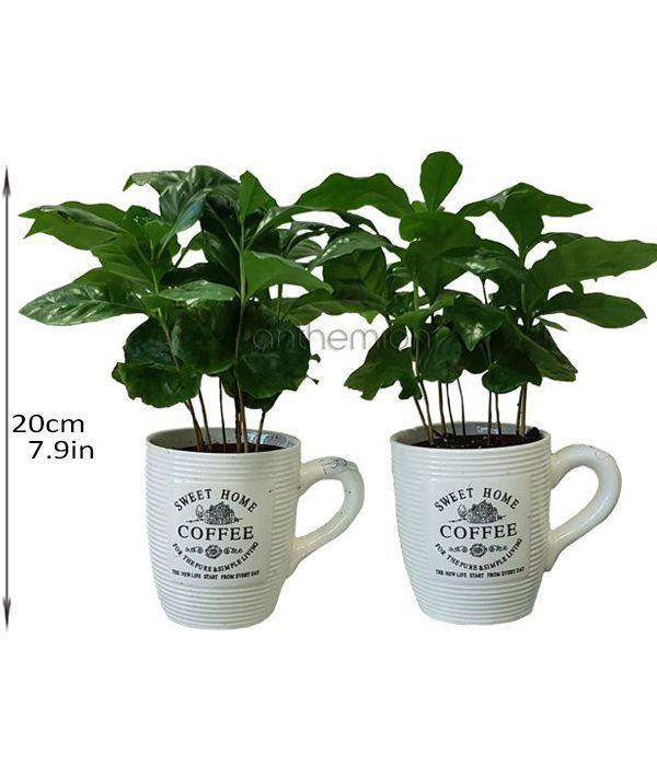 Καφεόδεντρο σε κούπα