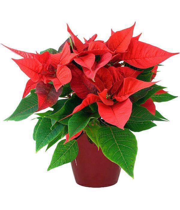 Χριστουγεννιάτικο φυτό Αλεξανδρινό