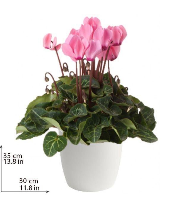 Ροζ Κυκλάμινο