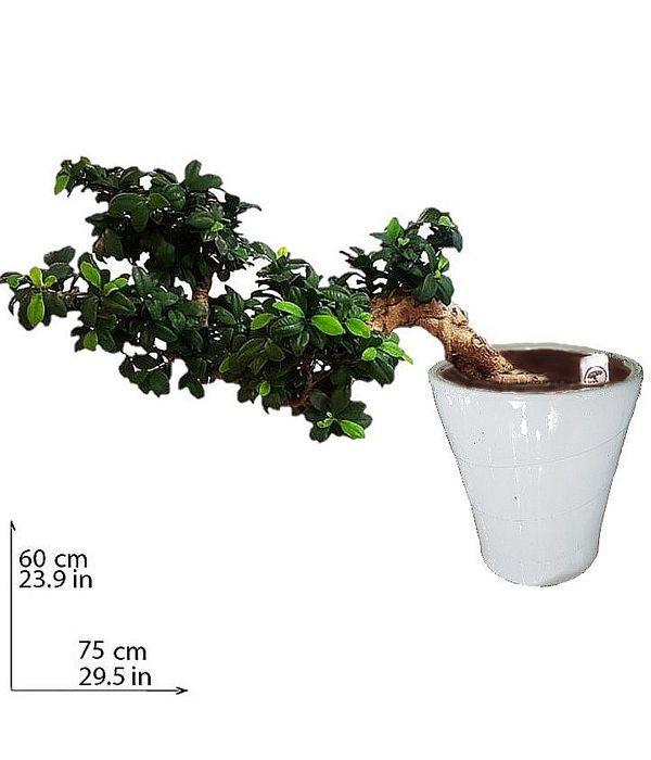 Μπονσάι Ficus Ginseng