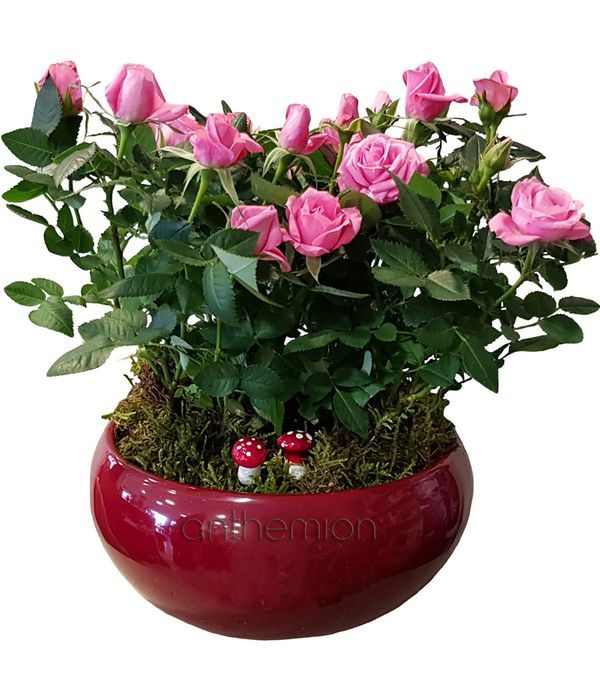 Fuchsia mini plant arrangement