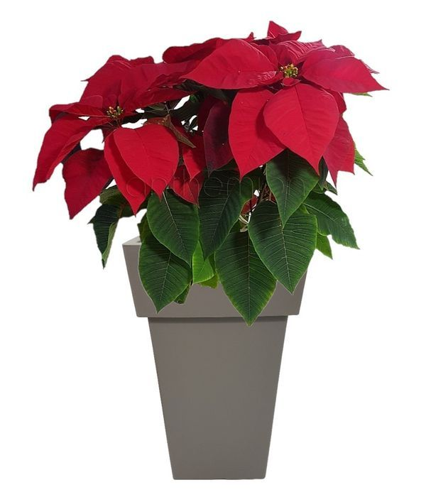 Poinsettia in a gray tall pot