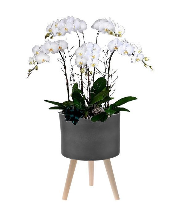 Luxury orchids in a ceramic base with wooden stand