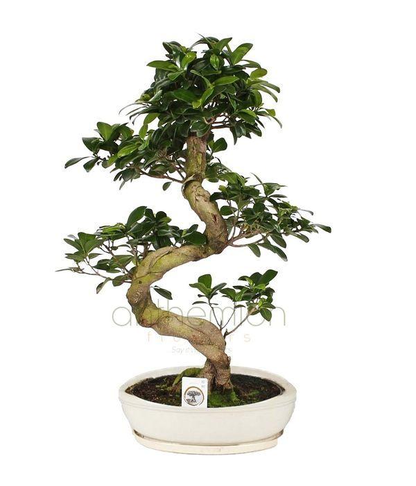 Impressive bonsai with twisty trunk