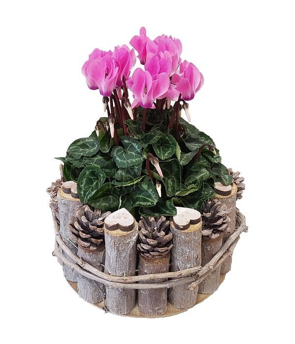 Cyclamen in a wooden pot