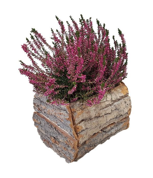 Erica plant in wooden container