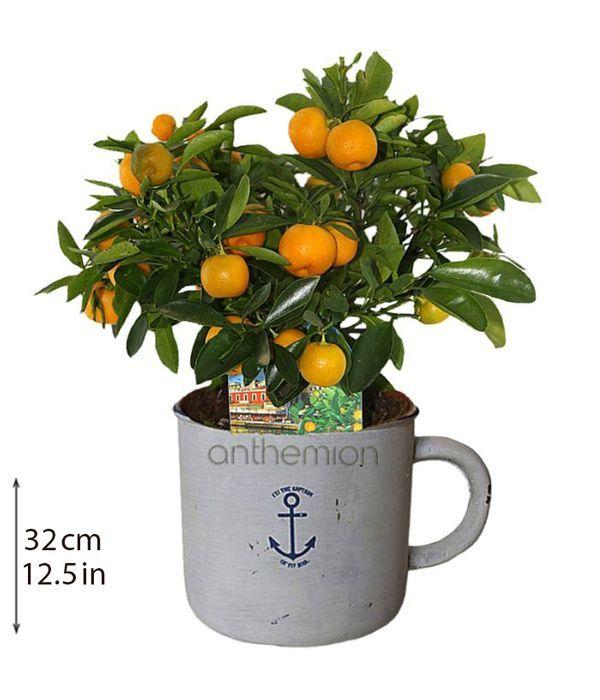 Μίνι κίτρο φυτό σε κεραμικό
