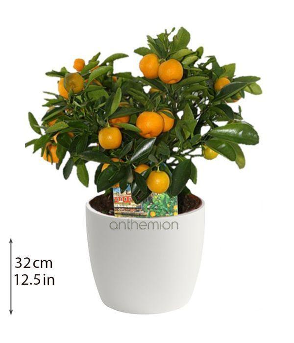 Μίνι Κουμ Κουάτ φυτό