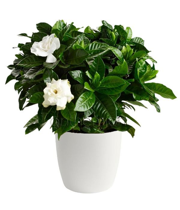 Αρωματική γαρδένια φυτό