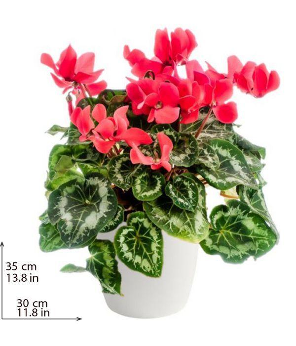 Εντυπωσιακό κόκκινο κυκλάμινο φυτό