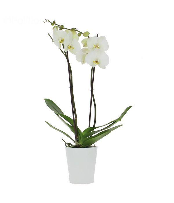 White orchid Phalaenopsis plant