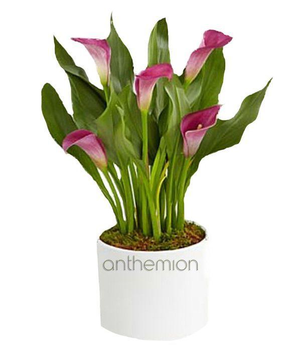 Gorgeous Calla Plant