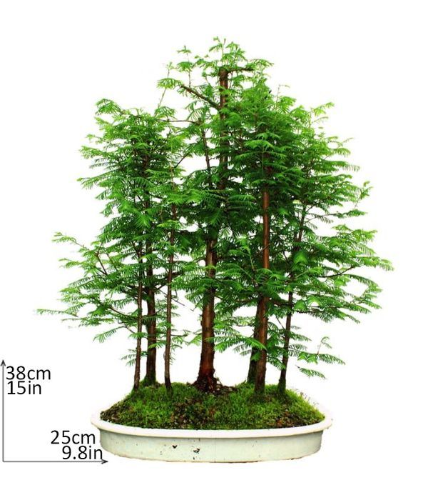 Πράσινο Μπονσάι