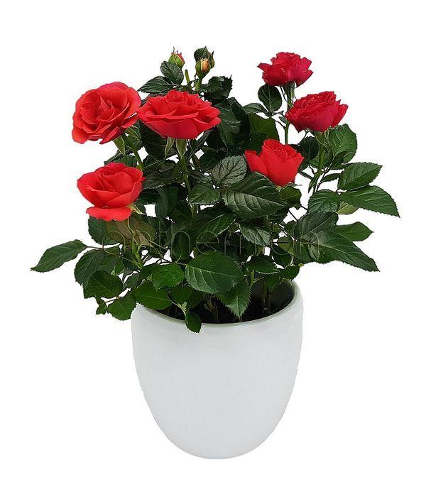 Κόκκινη τριανταφυλλιά σε λευκό κεραμικό