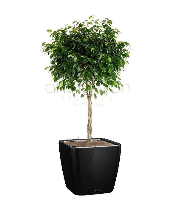 Ficus benjamin in self watering pot