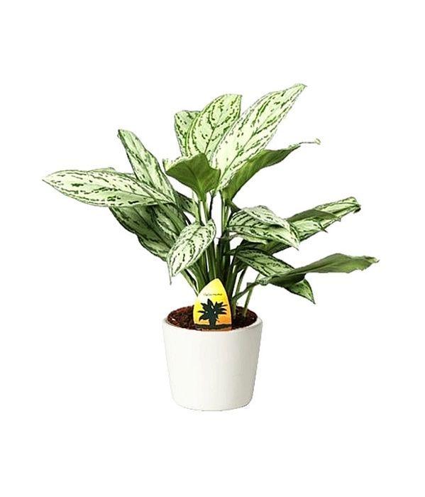 Aglaonema plant