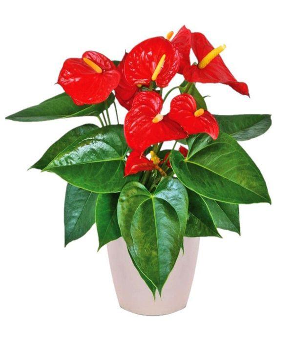 Ανθούριο, το φυτό του έρωτα!