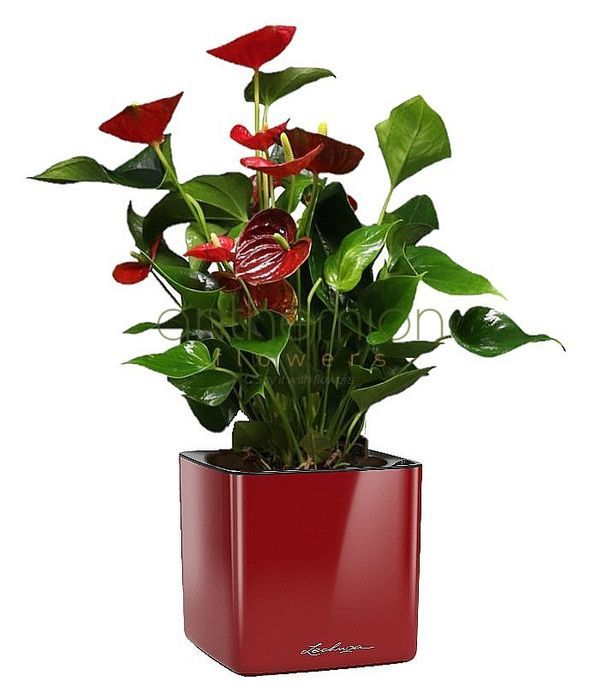 Anthurium plant in self watering pot (choose colour)