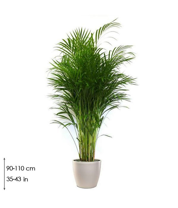 Φυτό Αρέκα