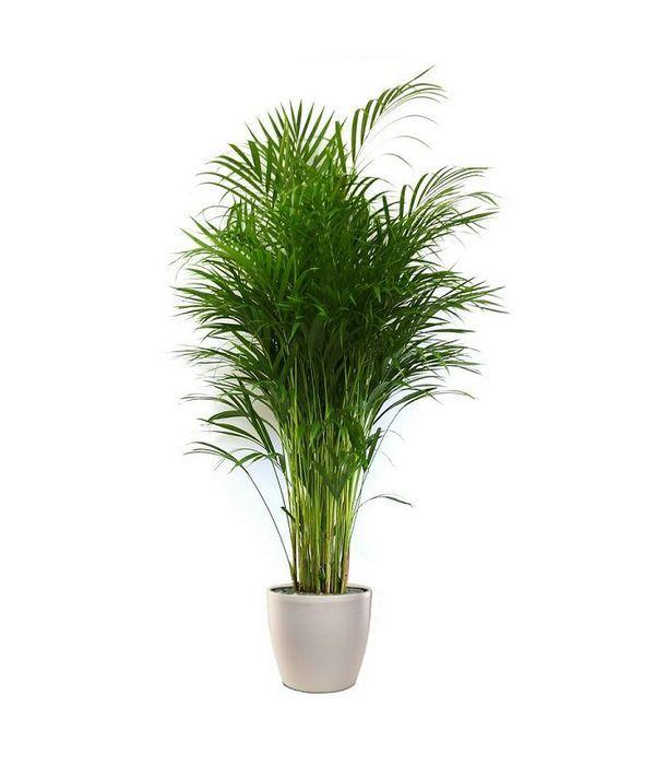 Areka plant