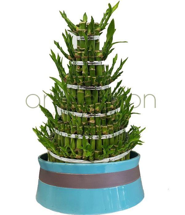 Εντυπωσιακό Lucky Bamboo