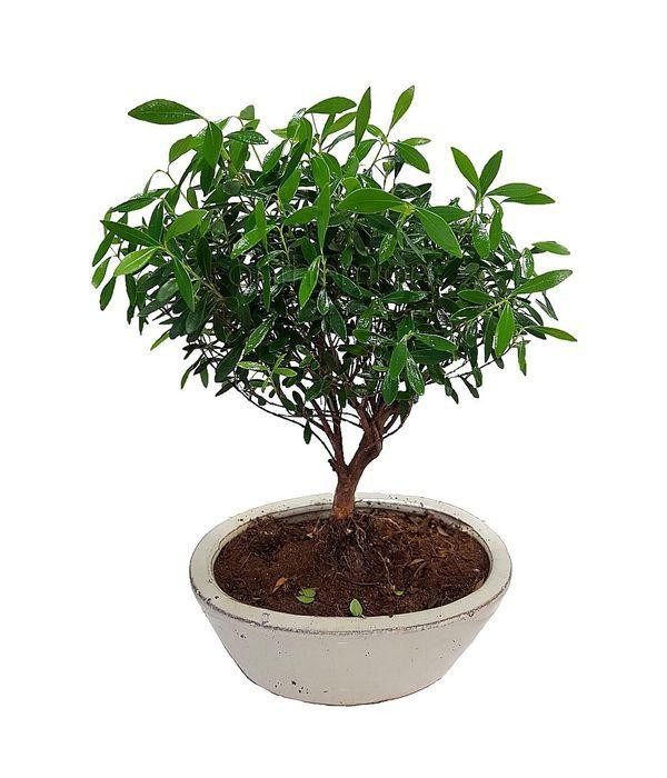 Φυτό Μπονσάι Μίνι