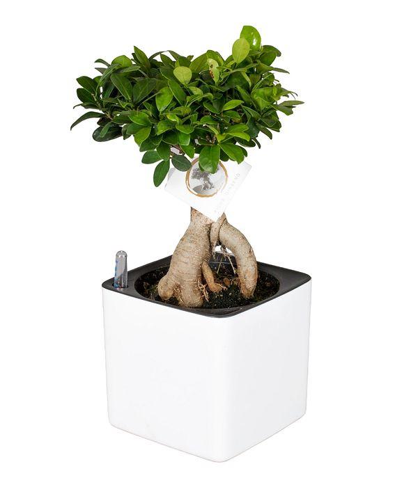 Bonsai in self watering pot