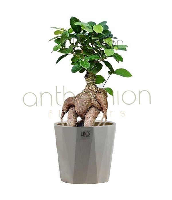 Φυτό Μπονσάι