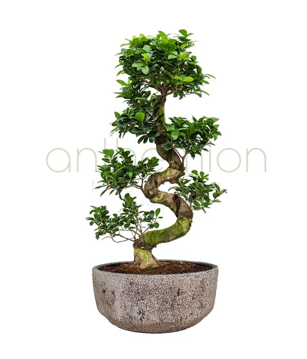 Bonsai Plant with Twisted Trunk