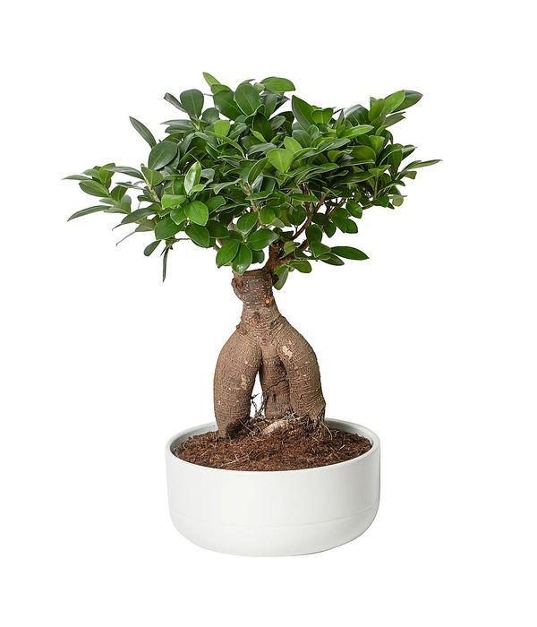 Elegant bonsai