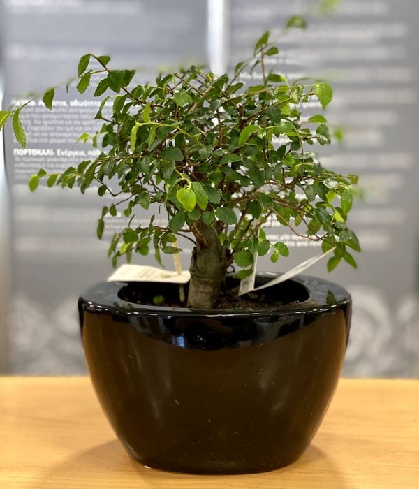 Bonsai plant mini