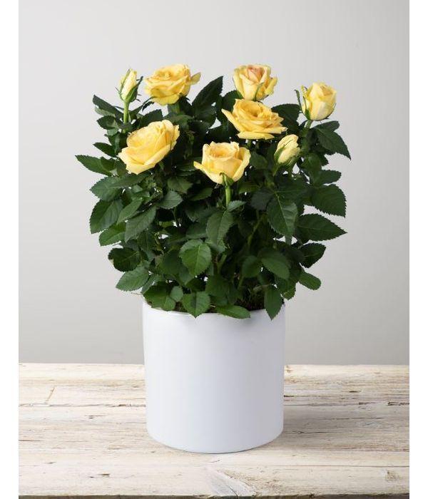 Potted mini rose plant