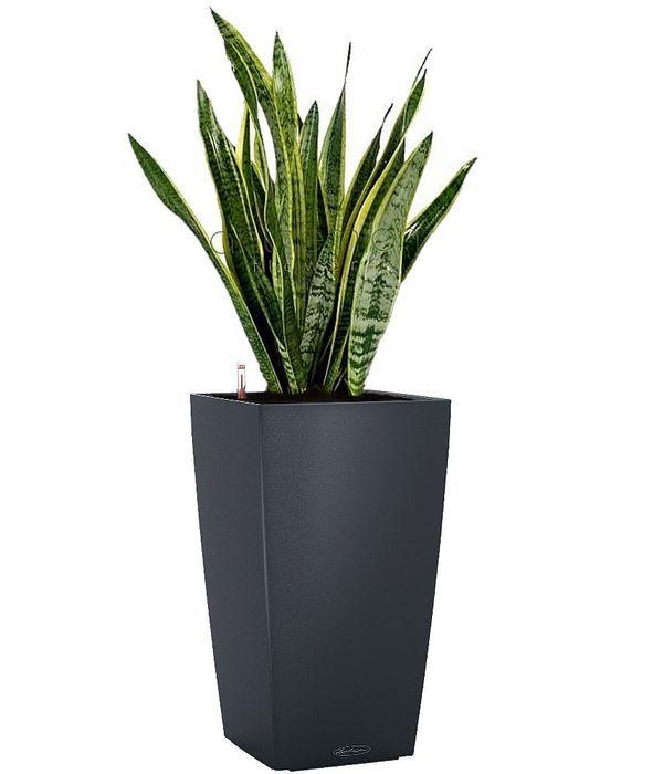 Sansevieria in dark grey self watering pot