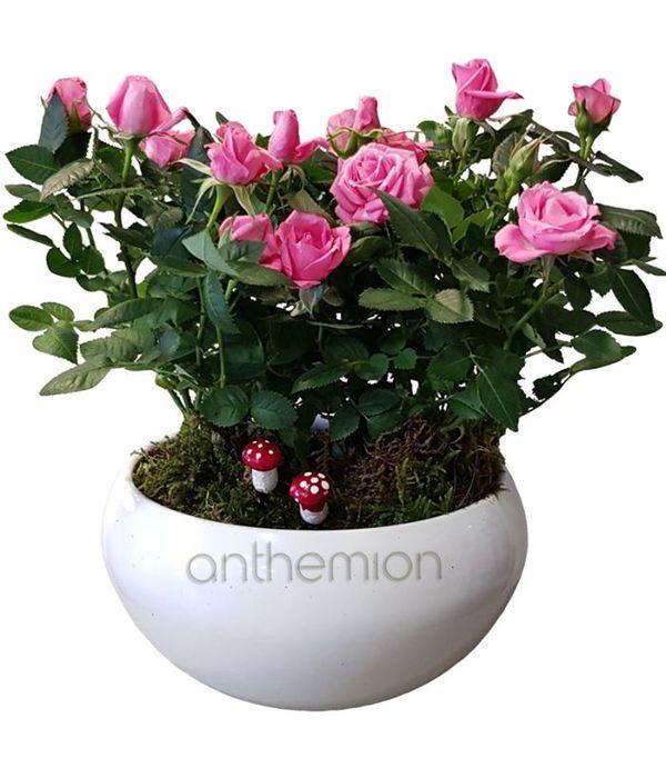 Ροζ τριανταφυλλιές σε κασπώ