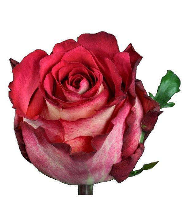 Δίχρωμα Τριαντάφυλλα Εισαγωγής ανά τεμάχιο