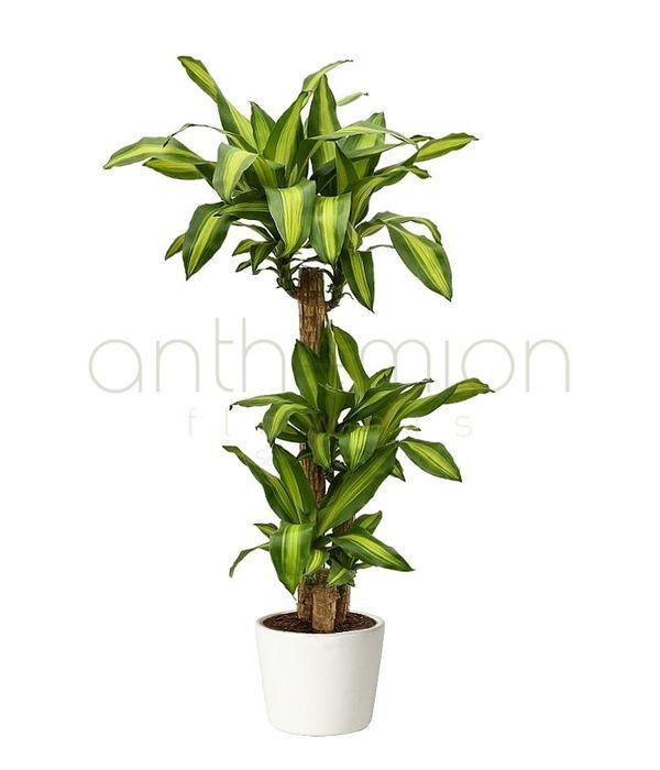 Dracaena massangeana fragrans ( 3 trunks)