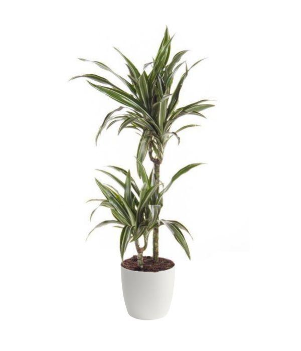 Αποστολή Δράκαινα φυτό