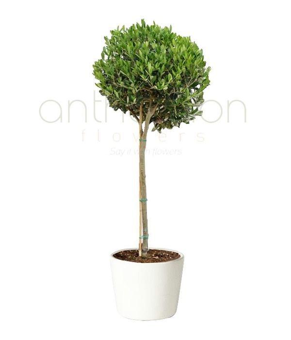 Ελιά το φυτό της Ελλάδας μας