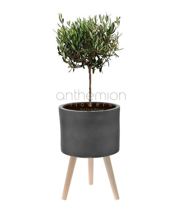 Olive tree in a ceramic base with wooden stand