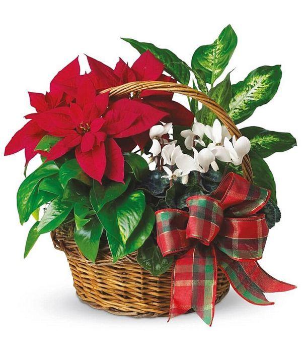 Christmas plants in basket